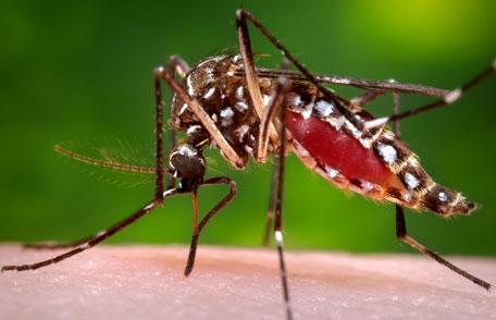 mosquito-dengue
