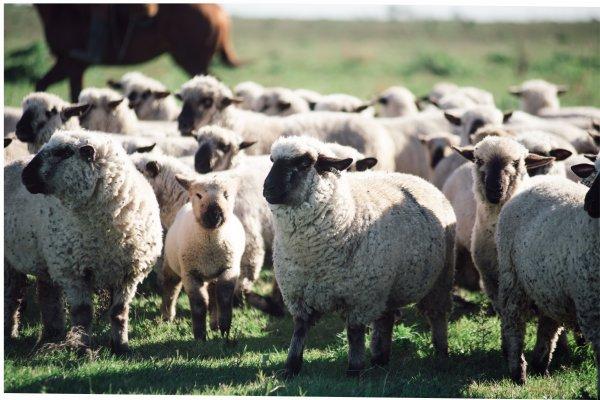 Propuesta para la cría de ovinos
