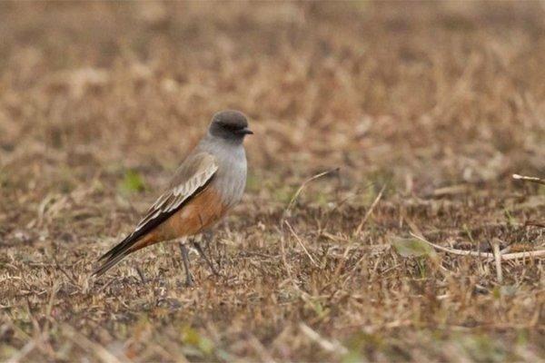 Captan en Concordia la imagen de una especie de ave proveniente del sur